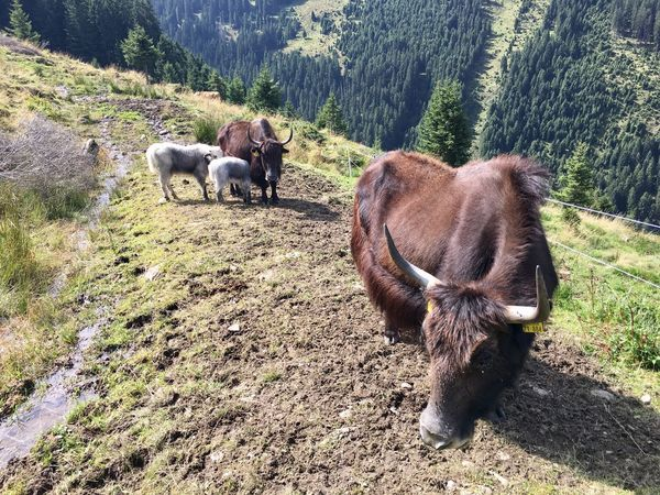 Animal Themes Yaks Tiere Nature Grazing Cow Outdoors Mountain Alps Tirol  Austria Österreich Field Grass Farm Animal Cattle Animal