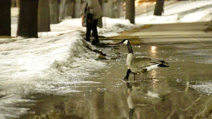 Street people and night geese on the cycle paths of Calgary. Watchfull Bonded For Life Reflections In The Water Puddle Night Birds 2300 Street People Canada Geese Bird Animals In The Wild Animal Themes Water Animal Wildlife Day Nature Real People One Person Outdoors