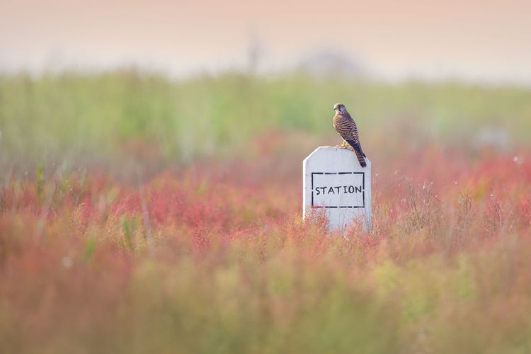 It will be a long long journey. Animals Autumn Bird Birds Field Grass Grassy Green Color Kestrel Landscape Nature No People Plant Raptor Red Station