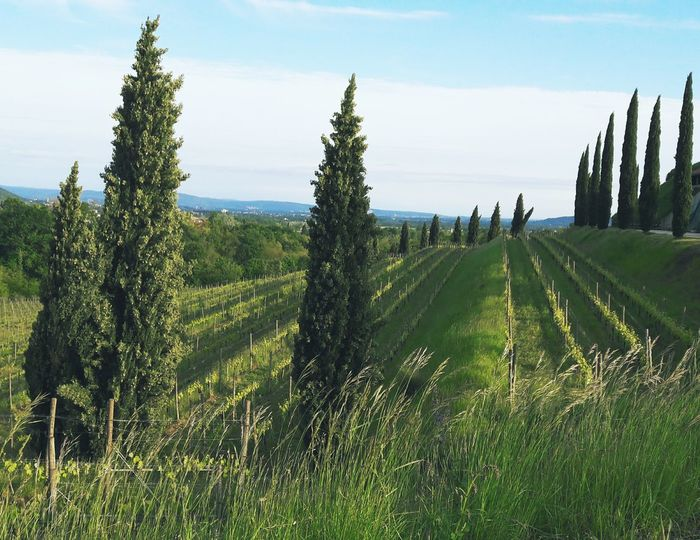 Green Cypress Trees  Cypress Countryside Wine Yards Friuli Venezia Giulia Corno Di Rosazzo Collio Italy Green Color