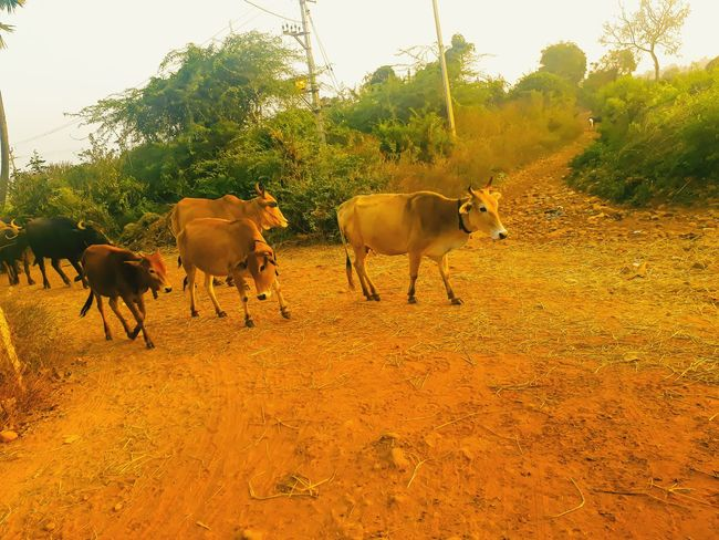 The cows are returning back to there shelter.