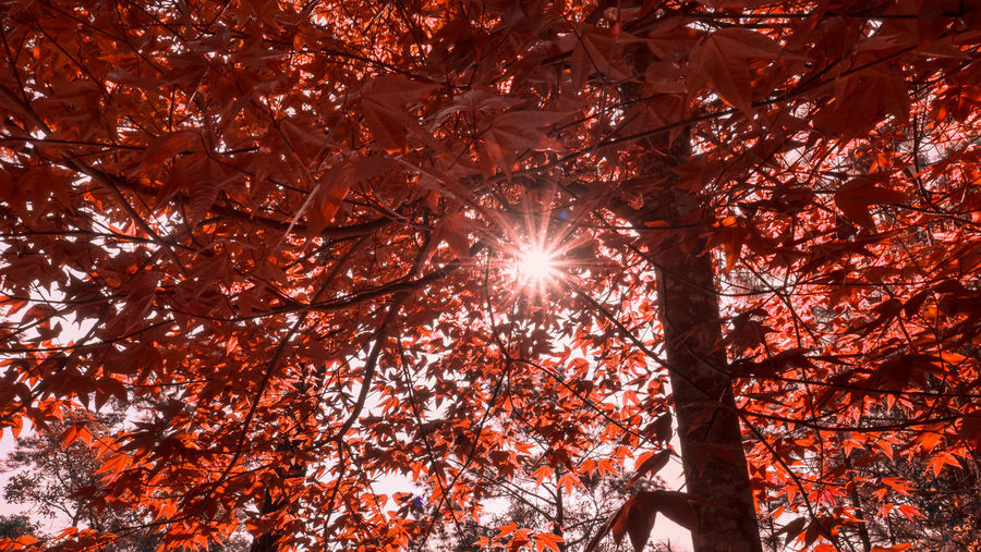Low Angle View Of Sunlight Streaming Through Tree During Autumn