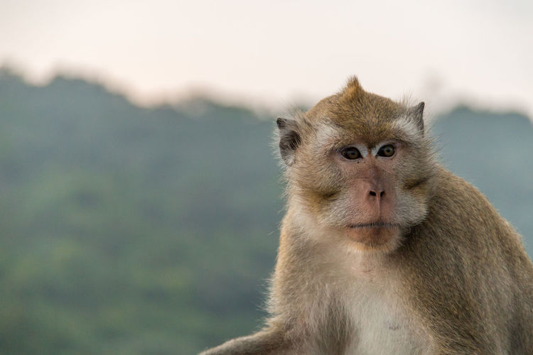 Close-up portrait of monkey against blurred background
