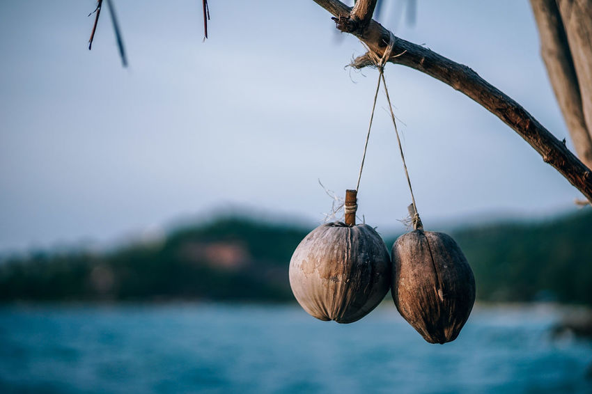 Photograph of the two coconuts hanging from the branch of the tree. Dry coconuts for decorations. Low light Photography. Blurry background with the sea and a green island. ASIA Asian  Coconut Freshness Hanging Hanging Out Nuts Palm Tree Plant Raw Textured  Tree Vacations Backgrounds Branch Brown Closeup Decorations Dry Organic Pattern Ripe Summer Tropical Trunk