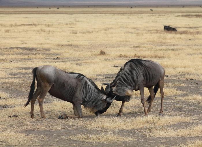 Wildebeest fighting on field