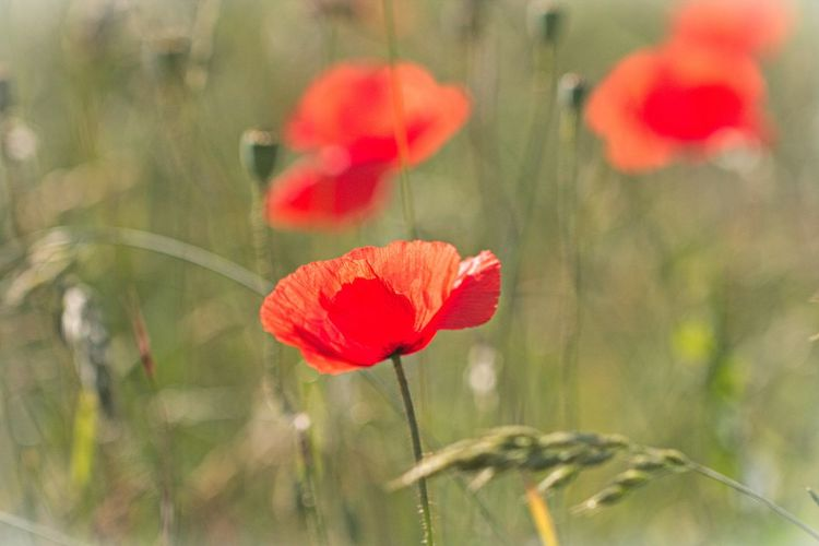 Poppy Flowers Flower Fragility Freshness Vulnerability  Close-up Red Flower Head Poppy Focus On Foreground Selective Focus Nature Petal Beauty In Nature Beautiful Beautiful Nature Lovely Nature_collection Nature Photography Naturelovers Scenics - Nature Meadow Meadow Flowers Field Fieldscape Flower Collection Flower Photography Red Flower Flowers, Nature And Beauty EyeEm Nature Lover EyeEm Gallery Eye4photography  Walking Around Taking Pictures Grass Bokeh