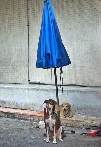 2 dogs under a blue umbrella Guard Dogs Animal Themes Animal Mammal Domestic Animals Pets Dog Domestic Canine Wall - Building Feature No People Umbrella The Street Photographer - 2019 EyeEm Awards