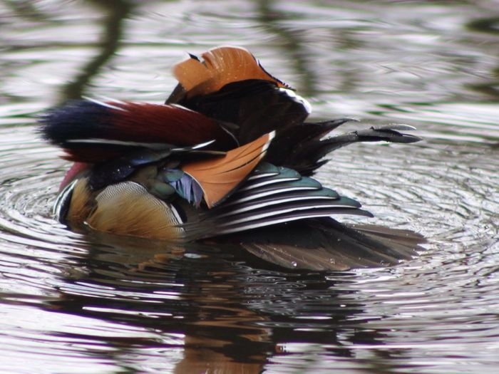 Mandarin Duck Birds Nature Beautiful Holywells Park Ipswich Suffolk United Kingdom No Head Showing Imperfection