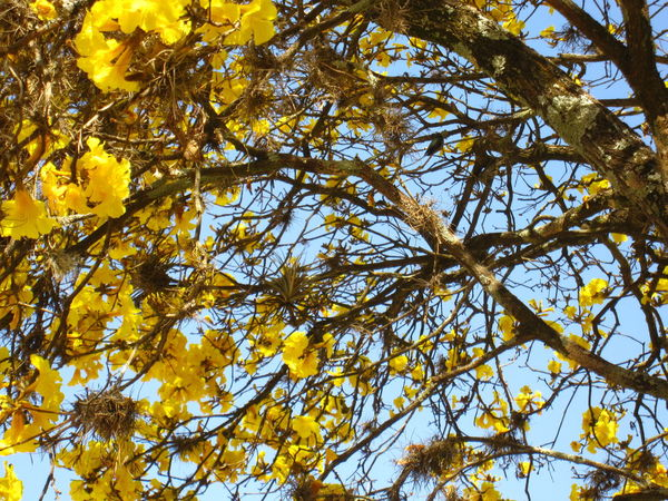 Bignoniaceae Cerrado Handroanthus Albus Tabebuia Alba Yellow Ipê Flowers Beauty In Nature Branch Clear Sky Close-up Day Deciduous Epay Flower Freshness Fruit Golden Trumpet Tree Growth Guayacan Lapacho Low Angle View Nature No People Outdoors Sky Tree