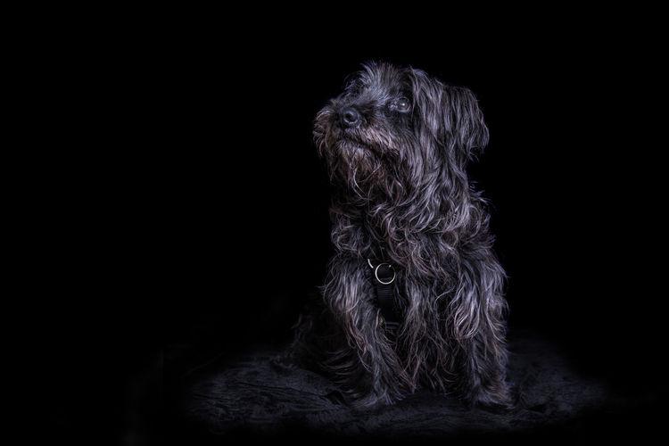 Black Dog Cute Dog Low Key Pet Pet Love Pet Portrait Portrait