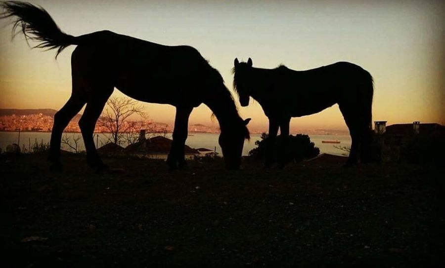 Animals Horse Horses Silhouette Shadow Sunset Nature Istanbul Princess Island Beauty In Nature Animals In The Wild Strength Freedom Sunlight