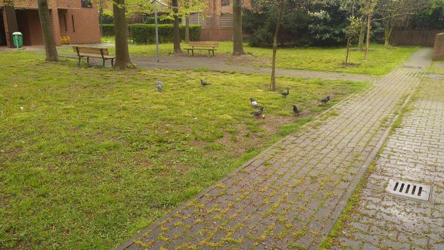 Bench Walkway Bird Dove Grass Erba Uccello Piccione Tree Field Grass Green Color