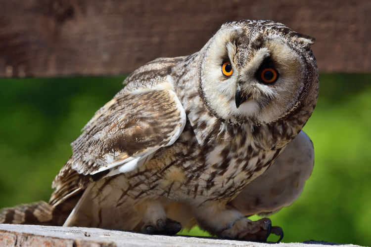 Close up of a long eared owl