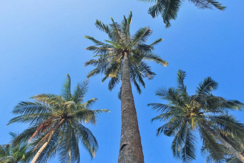 Beach Beauty In Nature Bintan  Bintanisland Clear Sky Coconut Palm Tree Day Growth Low Angle View Nature Non-urban Scene Outdoors Palm Tree Palm Trees Scenics Tall - High Travel Destinations Traveling Tree Tree Trunk Trikorabeach Tropical Tropical Paradise Tropical Tree Vacations