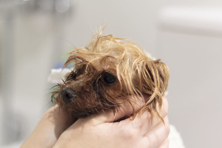Close-up of hand holding small wet dog after bath