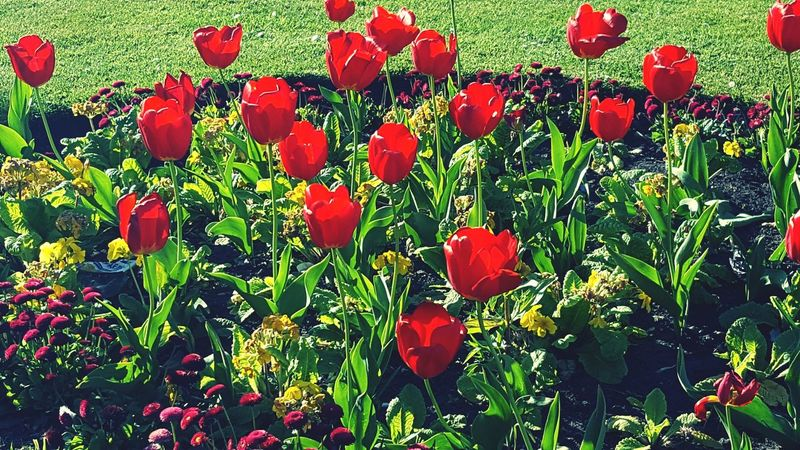 Tulipan Spring Flower Glasgow  Instaglasgow VisitScotland Explorescotland Igersscots IgersScotland