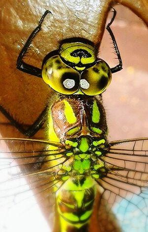 Animal Libelle