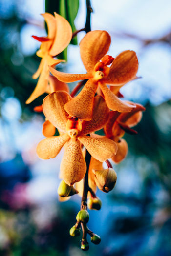 orchid Exotic Hanging Isolated Orchid Backgrounds Beauty In Nature Bokeh Colorful Flower Flower Head Focus On Foreground Fragility Freshness Growth Nature Orange Color Oriental Outdoors Petal Plant Portrait Selective Focus Vertical Vibrant Yellow Springtime Decadence