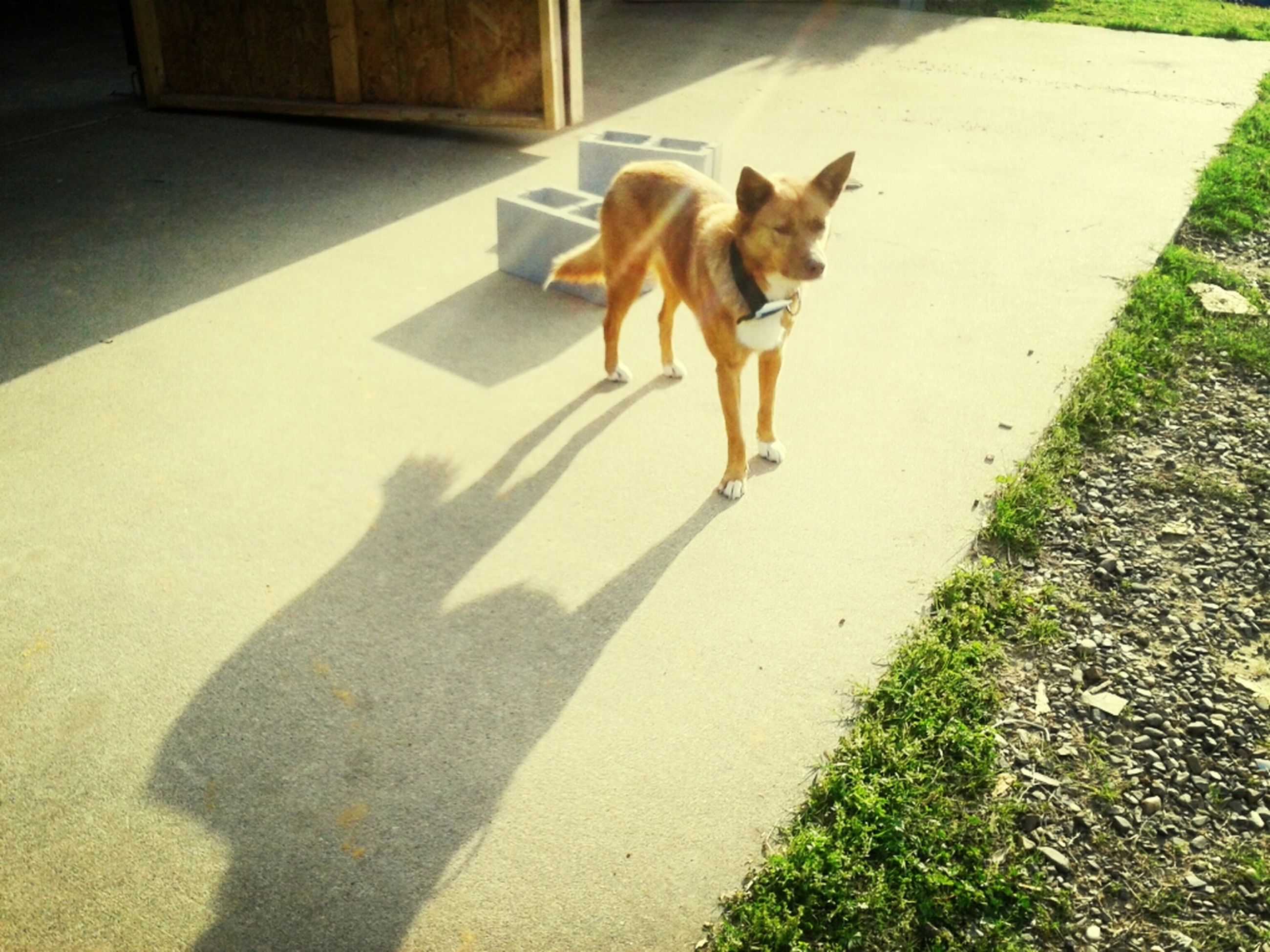 domestic animals, dog, pets, animal themes, one animal, mammal, shadow, high angle view, sunlight, street, pet leash, full length, road, day, walking, outdoors, standing, pet collar, no people, sidewalk