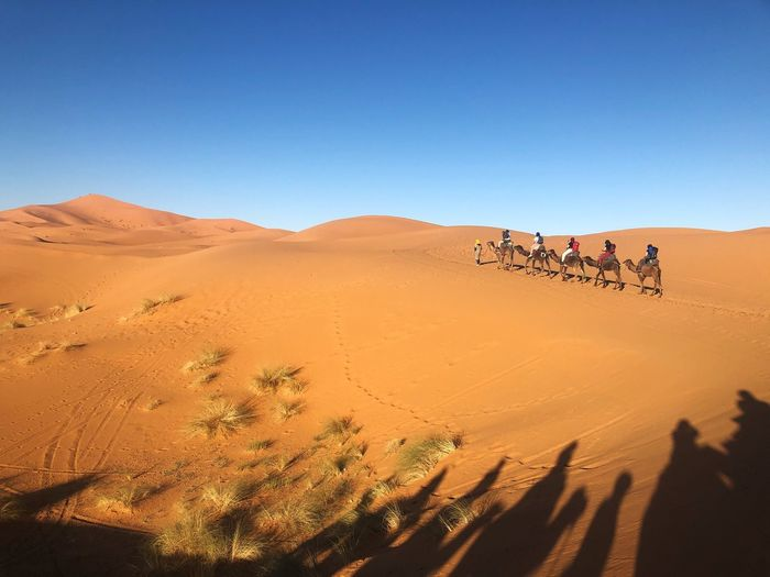 People riding camels at desert against clear blue sky on sunny day