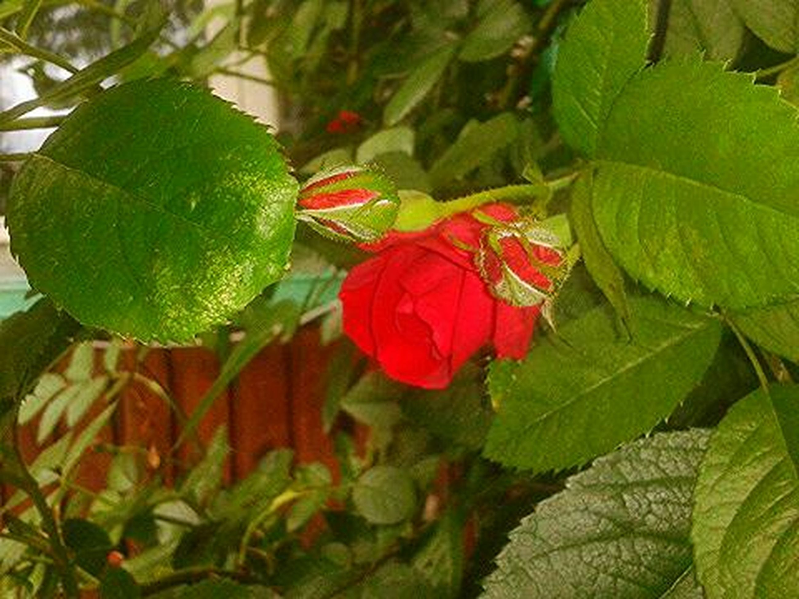 leaf, growth, freshness, green color, flower, beauty in nature, plant, close-up, nature, fragility, red, focus on foreground, petal, leaf vein, day, flower head, no people, outdoors, bud, botany
