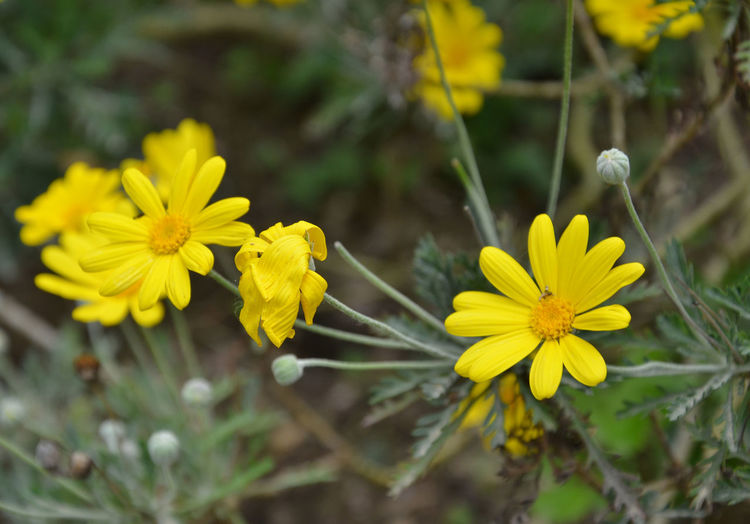 Euryops pectinatus. Margherita gialla. / Daisy Yellow. Beauty In Nature Blooming Blossom Botany Close-up Daisy Day EyeEm Nature Lover Flower Flower Head Focus On Foreground Fragility Freshness Growth In Bloom Nature Outdoors Petal Plant Pollen Selective Focus Showcase April Softness Stem Yellow