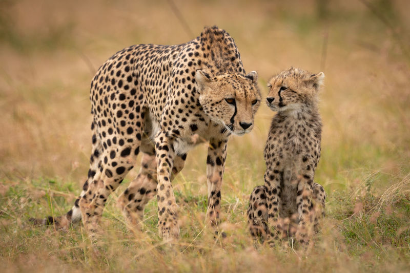 Family of cheetah standing on field
