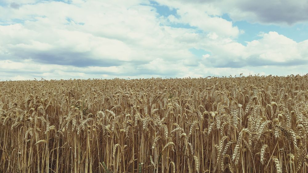 Agriculture Field Sky Farm Growth Nature Landscape Cereal Plant Tranquility Cloud - Sky No People Wheat Beauty In Nature Plant Outdoors Corn Cornfield Gold Colored