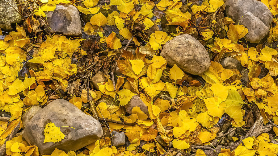 High angle view of yellow maple leaves on rock
