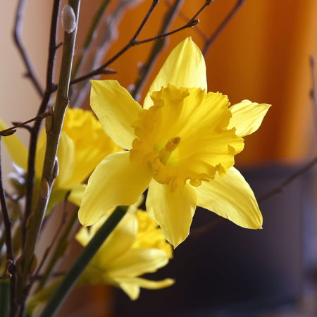 Daffodil Beauty In Nature Close-up Daffodil Day Flower Flower Head Fragility Freshness Growth Nature No People Petal Plant Yellow
