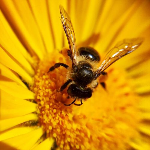 Beauty In Nature Flower Petals Nature Insect Close-up Macro Yellow Flower Bee