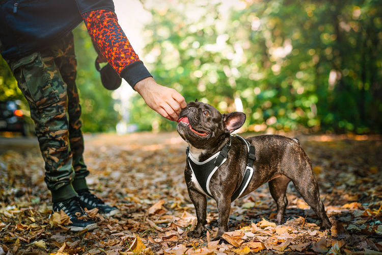 Midsection of person with french bulldog dog on land in the forest