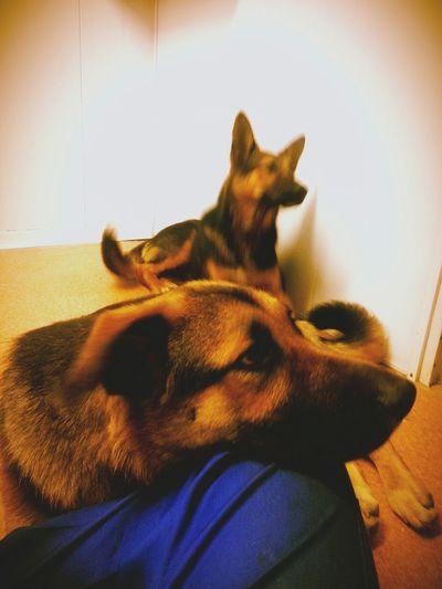 Cute Pets My Dogs Pastores Alemanes Retrica