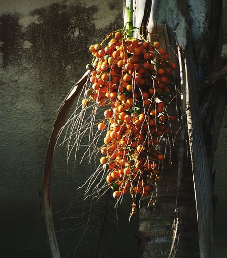 Creative Photography Nature_collection Plam Fruit Check This Out 😊 🌈⭐🌠🌍🌞 EyeEm Nature Lover EyeEm Best Shots EyeEmBestPics EyeEm Best Shots - Nature Close-up Selective Focus Yellow Mood Captures Fruit Tree Palm Dates