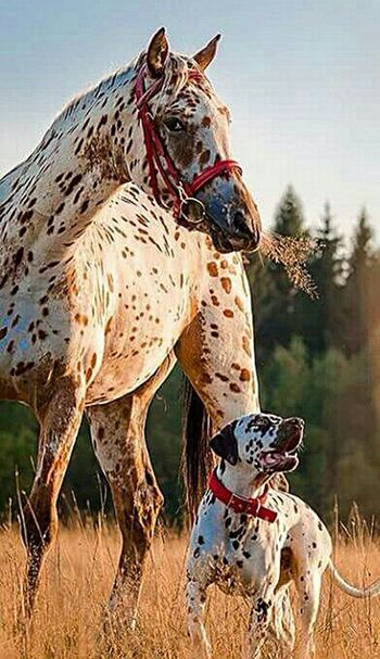Beautiful Friendship Dog And Horses Spots Pointer Dog My Favorite Photo Popular Beautiful View Ranch Life Working Animals Original Experiences My Favorite Picture  Under Texas Skies Pet Photography  Animal Photography Outside Photography Popular Photos