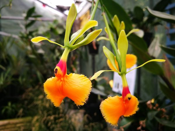 Orchid Orchidflower Orchidee Orchid Flower Epidendrum Flower Plant Fragility Petal Growth Close-up Beauty In Nature No People Yellow Flower Head Freshness