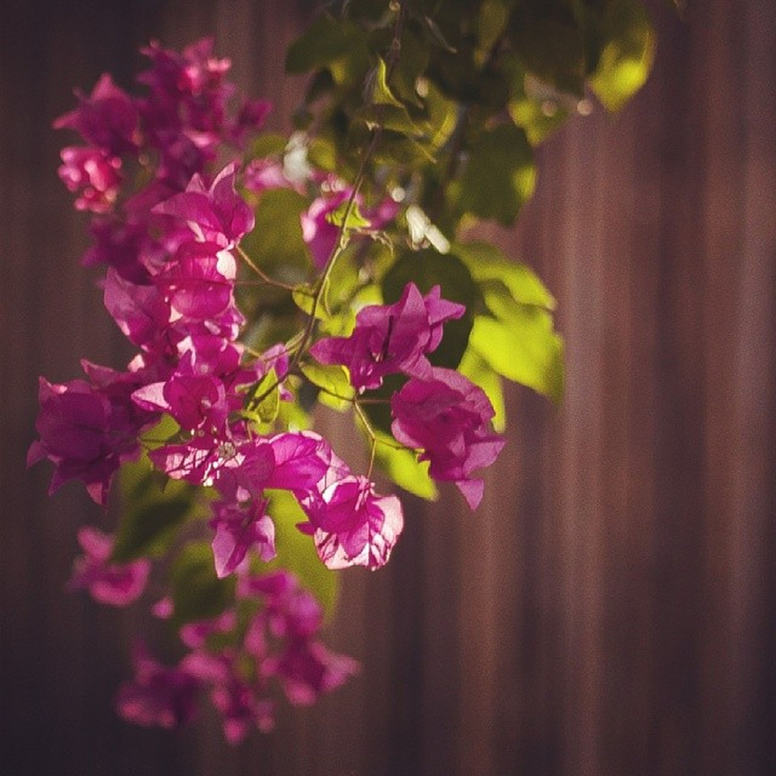 flower, petal, freshness, fragility, growth, beauty in nature, pink color, nature, focus on foreground, close-up, flower head, blooming, plant, in bloom, bunch of flowers, indoors, selective focus, no people, blossom, day