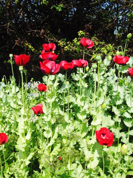 Red Growth Flower Nature Beauty In Nature Poppy Blooming Plant Poppies  Poppies In Bloom Poppies Blooming