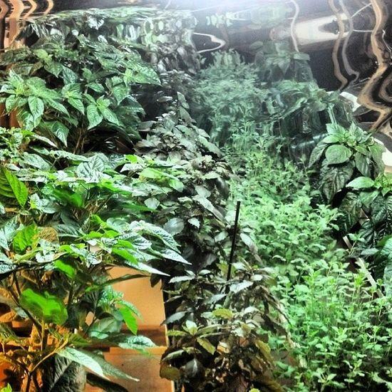 Plants. Surelygrow Plants Hydroponics Hydroculture peppers basil gardening instagrow instagarden