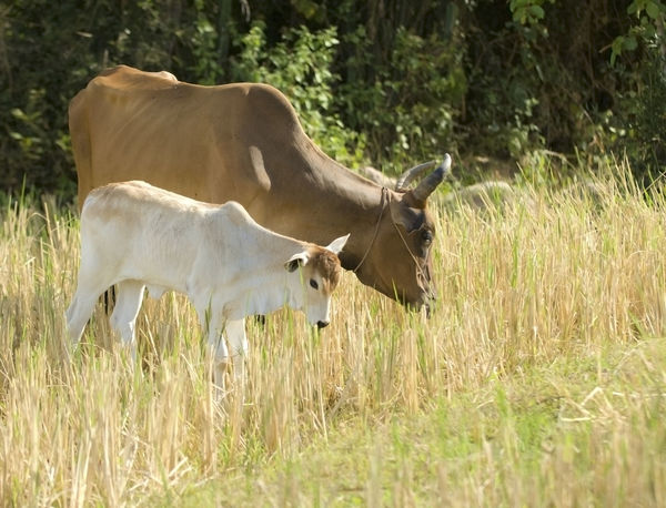 Mother cow and her calf Agriculture Animal Themes Calf Cow Cows Day Domestic Animals Ecology Field Field Grass Harmony Livestock Mammal Motherlove Nature No People Outdoors Rural Standing Summer Sun Tree Village Life Young Animal
