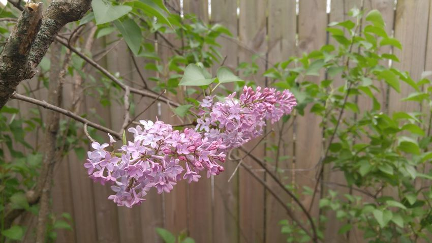 Syringa Vulgaris Lilac Lilac Bush Springtime Spring Fence Wooden Fence