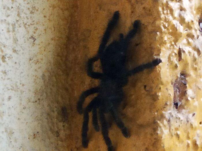 Black Close-up Day Ecuador♥ No People Spider Spider Tarantulas Spiders In The Wild