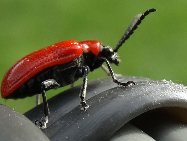 Animal Themes Animal Wildlife Animals In The Wild Close-up Day Garden Pest Insect Lily Beetle Nature No People One Animal Outdoors Pest Red Red Lily Beetle