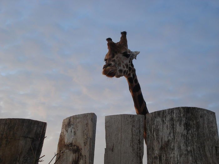 Low angle view of giraffe by wooden post against cloudy sky