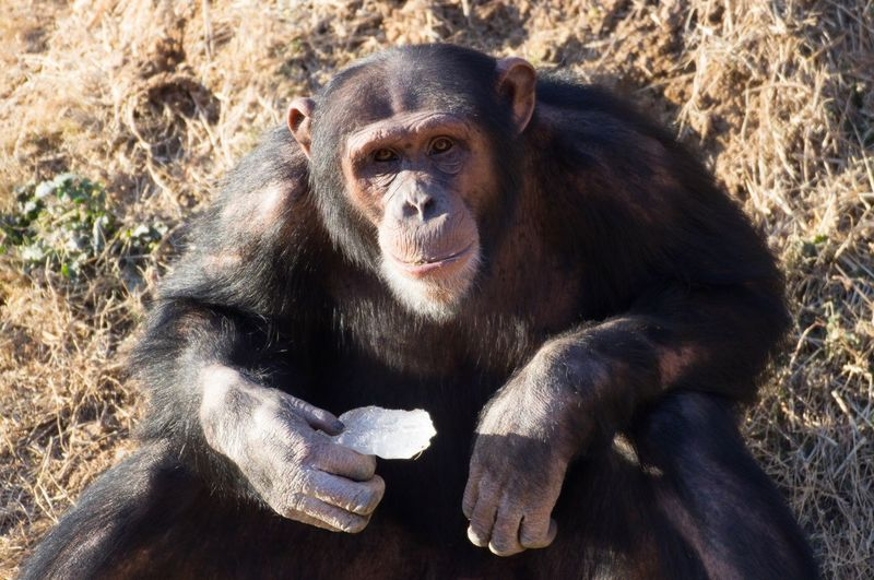 Chimpanzee eats