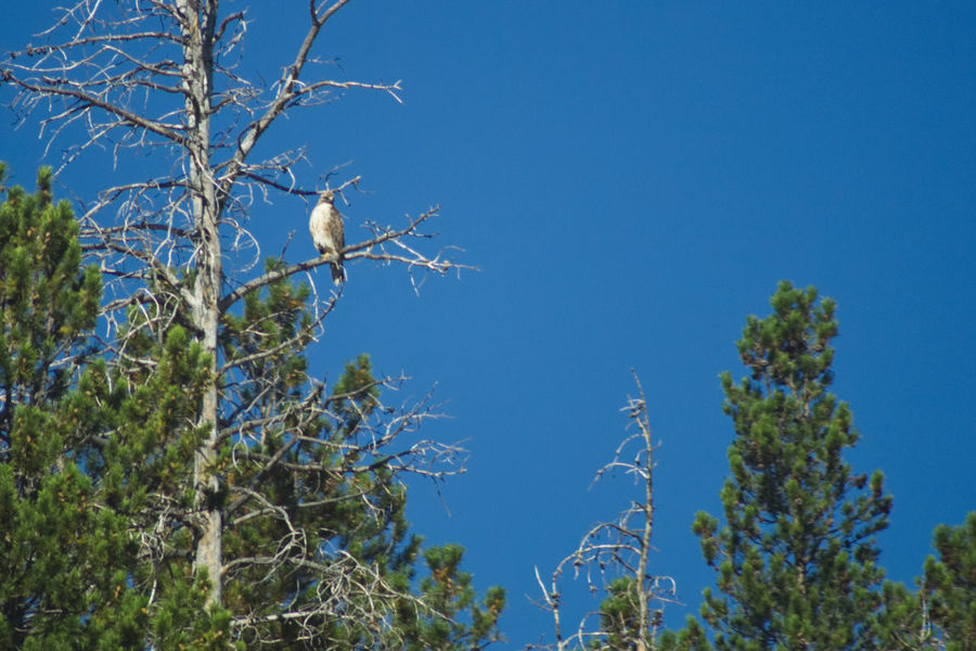 Hawk in a tree in Medicine Bow National Forest, Wyoming Hawk Animal Animal Themes Animal Wildlife Animals In The Wild Bird Blue Branch Clear Sky Day Growth Low Angle View Nature No People One Animal Outdoors Perching Plant Sky Tree