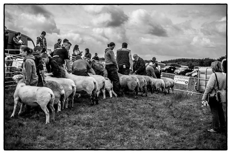 An agricultural show in Swinford, Ireland Agriculture Ireland Domestic Animals Field Flock Of Sheep Large Group Of Animals Livestock Mammal Outdoors Sheep