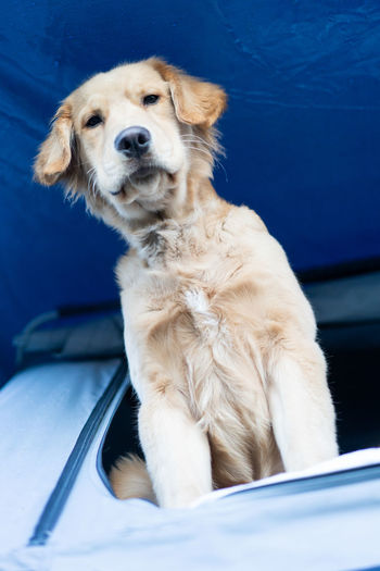 Dog Canine Pets One Animal Domestic Domestic Animals Mammal Sitting Mode Of Transportation Transportation Golden Retriever Retriever No People Alertness Cute Portrait Indoors
