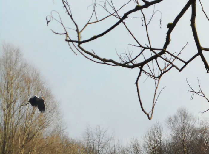 A heron, busy building the nest. Animal Themes Bird Branch Day Flying High Heron Low Angle View Manchester Nature Nest Building Outdoors Sky Wildlife Wingspan