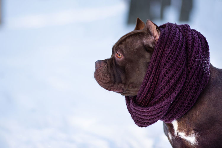 American bully breed puppy in winter forest dressed in scarf